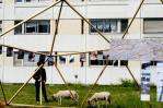 Présentation de l'atelier et arrivée des moutons 24h