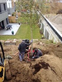 Mise en place de l'ancrage de motte du Quercus